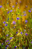 Cornflowers in a summer meadow
