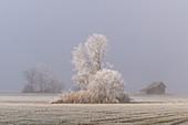 Der dichte Morgennebel lichtet sich im Kochelmoos, Kochel am See, Oberbayern, Bayern, Deutschland