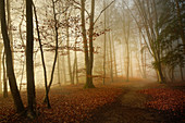 Autumn beech forest south of Munich, Upper Bavaria, Bavaria, Germany, Europe