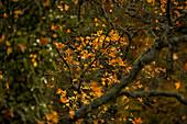 Herbstlaub im Morgenlicht, Eltztal, Rheinland-Pfalz, Deutschland