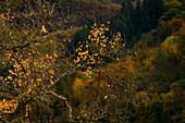 Autumn leaves in the morning light, Eltztal, Rhineland-Palatinate, Germany