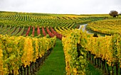 Vineyards near Nordheim am Main, Lower Franconia, Bavaria, Germany
