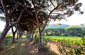 Viticulture in the bay of Portoferraio, Elba, Toscana, Italy