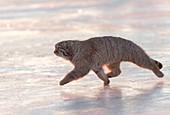 Asie, Mongolie, Est de la Mongolie, Steppe, Chat de Pallas Otocolobus manul), se déplace en marchant // Asia, Mongolia, East Mongolia, Steppe area, Pallas's cat (Otocolobus manul), moving, walking