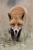 Red Fox / Rotfuchs ( Vulpes vulpes ) walking along a fox path through high, dry reed grass, low point of view, frontal shot, open jaw, wildlife, Europe.
