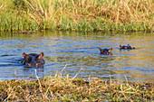 Hippopotamu (Hippopotamus amphibius) mother and two young, Khwai Private Reserve, Okavango Delta, Botswana, Africa