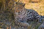 Female Leopard (Panthera pardus) resting in the shade of a tree, Bushman Plains, Okavango Delta, Botswana, Africa