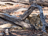An adult lioness (Panthera leo), head detail in Chobe National Park, Botswana, Africa