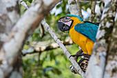 Erwachsener blau-gelber Ara (Ara ararauna), Amazonas-Nationalpark, oberes Amazonas-Einzugsgebiet, Loreto, Peru, Südamerika