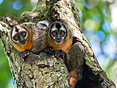 Adult Spix's night monkeys (Aotus vociferans), in Nauta Cano, Amazon River Basin, Iquitos, Peru, South America