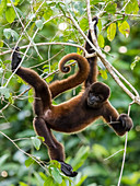 An adult common woolly monkey (Lagothrix lagothricha), on Pacalpa Cano, Pacaya Samiria Reserve, Peru, South America
