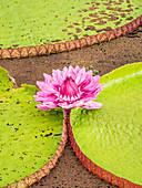 A large group of Victoria water lily (Victoria amazonica), on Rio El Dorado, Nauta, Peru, South America