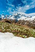Crocus in bloom during spring, Alpe Oro, Valmalenco, Valtellina, Sondrio province, Lombardy, Italy, Europe