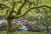 A woodland stream, the River Dart flowing through ancient oak woodland, in the heart of Dartmoor National Park, Devon, England, United Kingdom, Europe