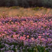 USA, Idaho, Picabo, Purple flowers in meadow