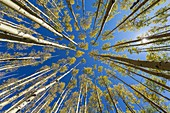 wide angle view looking up at autumn aspens