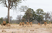 A lion pride, Panthera leo, lies together on short grass, direct gaze