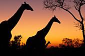 A silhouette of three giraffe, Giraffa camelopardalis giraffa, walk against a sunset of yellows and pinks
