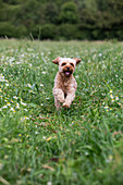 Portrait of a fawn coated young Cavapoo running in a meadow.