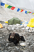 Yak eating from bowl at base camp on the lower slopes of the Everest range