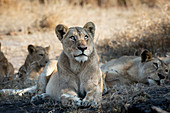 A lioness, Panthera leo, lies down and gazes up.