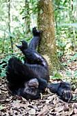 Chimpanzee male (Pan troglodytes schweinfurthii) sleeping in the forest. Kibale National Park, Uganda.