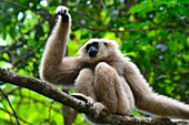 Female pileated gibbon swinging on a tree branch,Siem Reap province,Cambodia,South east Asia.