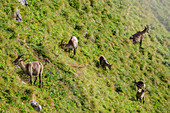 Pack of stone whitewashes and fawns graze in mountain flank, Augstmatthorn, Emmental Alps, Bern, Switzerland