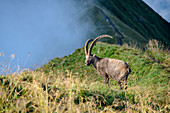 Ibex stands on mountain ridge and looks into the fog, Augstmatthorn, Emmental Alps, Bern, Switzerland