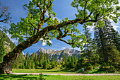 Sycamore maple leans to one side, Karwendel in the background, Kleiner Ahornboden, Karwendel, Karwendel Nature Park, Tyrol, Austria