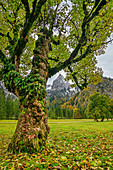 Sycamore maple in autumn leaves with Geiselstein in the background, Wankerfleck, Ammergau Alps, Ammer Mountains, Swabia, Bavaria, Germany