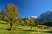 Sycamore maple in autumn leaves with Allgäu Alps in the background, Schwarzenbergalpe, Allgäu, Allgäu Alps, Swabia, Bavaria, Germany