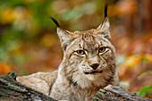 Lynx observes the surroundings, Lynx, Bad Schandau, Saxon Switzerland National Park, Saxon Switzerland, Elbe Sandstone, Saxony, Germany