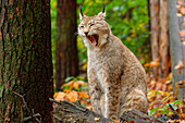 Lynx yawns, Lynx, Bad Schandau, Saxon Switzerland National Park, Saxon Switzerland, Elbe Sandstone, Saxony, Germany