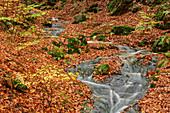 Small brook flows through forest with autumn run, Saxon Switzerland National Park, Saxon Switzerland, Elbe Sandstone, Saxony, Germany