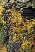 Autumnal discolored birch in front of Felsturm, Lilienstein, Saxon Switzerland National Park, Saxon Switzerland, Elbe Sandstone, Saxony, Germany