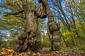Begging oak with a split trunk, Hainich National Park, Thuringia, Germany
