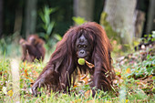Orang Utan with chestnut in the Rostock Zoo, Germany, Mecklenburg-Western Pomerania, Baltic Sea
