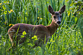 Deer in the morning light, Germany, Brandenburg, Spreewald