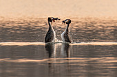 Great crested grebe courting at sunset, Germany, Brandenburg, Spreewald