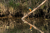 Kingfisher with water reflection, Germany, Brandenburg, Spreewald