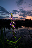 Aquatic plant in bloom in front of Spreewald Fließ at sunset, Germany, Brandenburg, Spreewald,