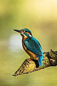 Kingfisher sits from branch eaten off by Bilber in the morning light, Detuschland, Brandenburg, Spreewald