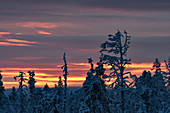 Icy trees at dawn in winter in Lapland, Arjeplog, Sweden