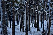 Snowy spruce forest in winter, Strömnäs, Norrbottens Län, Sweden