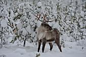 A reindeer in the snowy forest, winter in Lapland, Utterbacken, Sweden