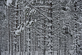 View into the snowy winter forest, Malå, Lapland, Sweden