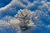 A tiny pine tree in winter full of hoarfrost and ice in the sunlight, Tallberg, Västerbottens Län, Sweden