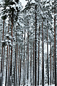 Snowy forest with tall spruce trees in winter, Malå, Lapland, Sweden