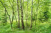 A birch grove in spring.